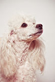 White poodle puppy Stock Photography