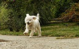 White poodle running in the garden stock photography