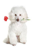 White poodle puppy with red flower. White poodle puppy hold red flower. isolated on white background stock images