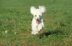 White poodle puppy run on grass Royalty Free Stock Photography