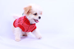 White poodle puppy wearing a red shirt. isolated on a white back Royalty Free Stock Images