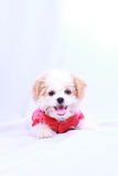 White poodle puppy wearing a red shirt. isolated on a white back Royalty Free Stock Photo