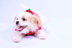 White poodle puppy wearing a red shirt. isolated on a white back Royalty Free Stock Image