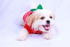 White poodle puppy wearing a red shirt. isolated on a white back Royalty Free Stock Photos