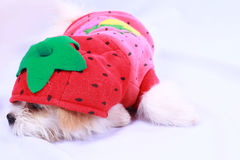 White poodle puppy wearing a red shirt. isolated on a white back Stock Photo