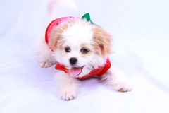 White poodle puppy wearing a red shirt. isolated on a white back Royalty Free Stock Photography