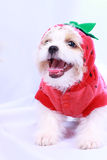 White poodle puppy wearing a red shirt. isolated on a white back Stock Photos
