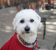 White poodle with red coat Stock Photography
