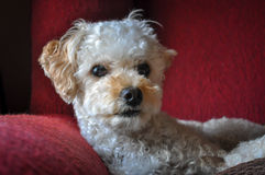 White Poodle Resting on Chair. White poodle resting on a red chair Royalty Free Stock Photography