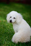 White poodle sit backward. On green grass in park Stock Images