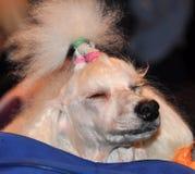 White poodle sleeps royalty free stock photos
