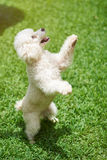 White poodle stand on back paw Stock Photography