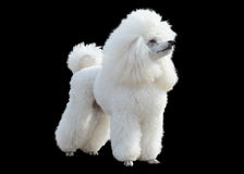 White Poodle stand isolated on  black background Royalty Free Stock Photo