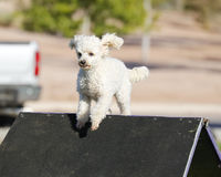 White poodle at the top of the a-frame Royalty Free Stock Photos