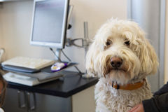 White poodle at the veterinarian Stock Photo