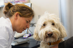 White poodle at the veterinarian Stock Photography