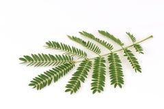 Free White Popinac, Lead Tree (Leucaena Leucocephala (Lamk.) De Wit), Leaves.. Royalty Free Stock Image - 59804486