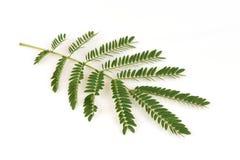 White Popinac, Lead Tree (Leucaena leucocephala (Lamk.) De Wit),leaves. Royalty Free Stock Photos