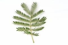 White Popinac, Lead Tree (Leucaena leucocephala (Lamk.) De Wit), leaves.. Stock Photo