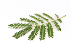 White Popinac, Lead Tree (Leucaena leucocephala (Lamk.) De Wit), leaves.. Royalty Free Stock Image