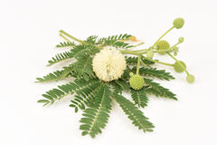 White Popinac, Lead Tree (Leucaena leucocephala (Lamk.) De Wit) Stock Photography
