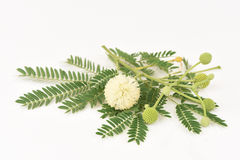 White Popinac, Lead Tree (Leucaena leucocephala (Lamk.) De Wit). Royalty Free Stock Photography
