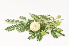 White Popinac, Lead Tree (Leucaena leucocephala (Lamk.) De Wit). Royalty Free Stock Photography