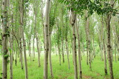 White poplar Royalty Free Stock Photos