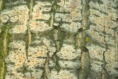 White poplar bark. Natural background - white poplar bark Royalty Free Stock Images