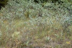 White poplar bush Stock Images