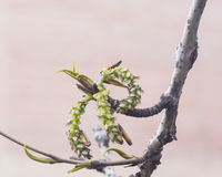 White poplar catkins on branch in spring with bokeh backgroun, shallow DOFd, selective focus Royalty Free Stock Images