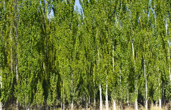 The white poplar forests Stock Photos