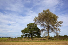 White poplar and oak Stock Photography