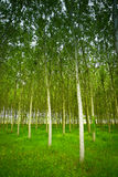White poplars. Cultivation in Collio area near Cormons, in the wine region of Friuli, Italy Stock Photography