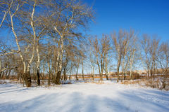 White poplars on winter river shore Royalty Free Stock Photography