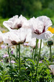 White poppies. Some in focus and others in blur Royalty Free Stock Photography