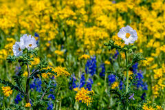 White Poppies against a Sea of Yellow Wildflowers in Texas. royalty free stock images