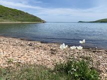 White poppies on the background of the strait between  Russkiy Russian, Russky island and island of Shkot in spring sunny day. V. Ladivostok, Russia stock photo
