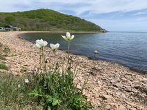 White poppies on  Russkiy Russian, Russky island in Bay the New Dzhigit in spring sunny day. Vladivostok, Russia.  royalty free stock photos