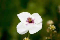 White poppy Stock Photo