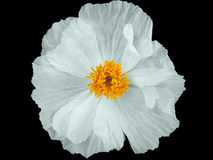 White Poppy. An isolated poppy flower Royalty Free Stock Image