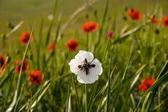 White poppy Royalty Free Stock Image