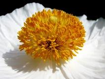 White Poppy Royalty Free Stock Photos