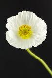White poppy on black background Royalty Free Stock Photography