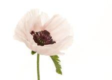 White poppy stock photos