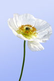 White poppy Stock Photo