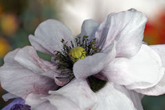 White poppy bud Royalty Free Stock Images