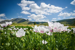 White poppy field Royalty Free Stock Photos
