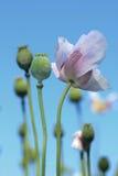 White poppy flower Stock Photo