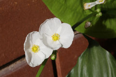 White poppy flower Royalty Free Stock Photo